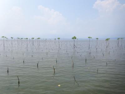 Tree planting of Mangrove